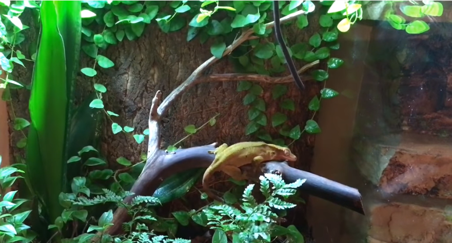 Gecko in a bioactive terrarium with live plants