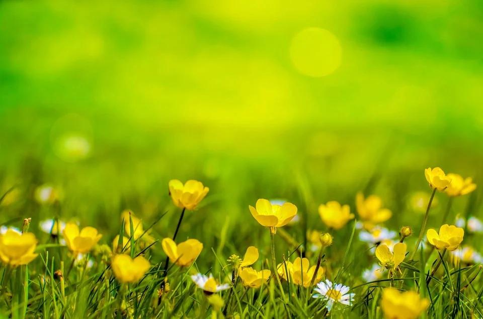 artistic field of buttercups unruly garden