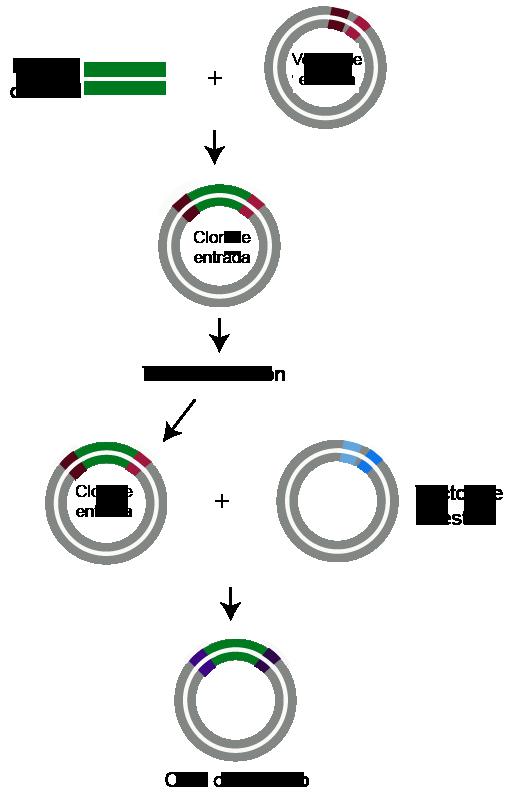 Clonación por recombinación y transformacion