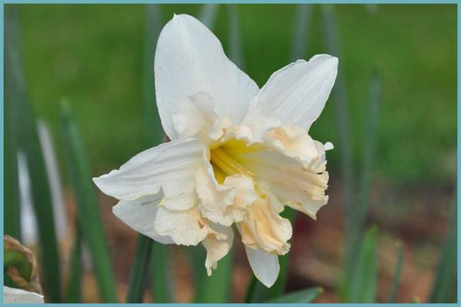Цветок белого нарцисса