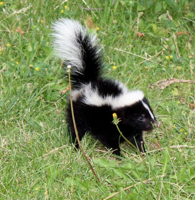 baby skunk.jpg