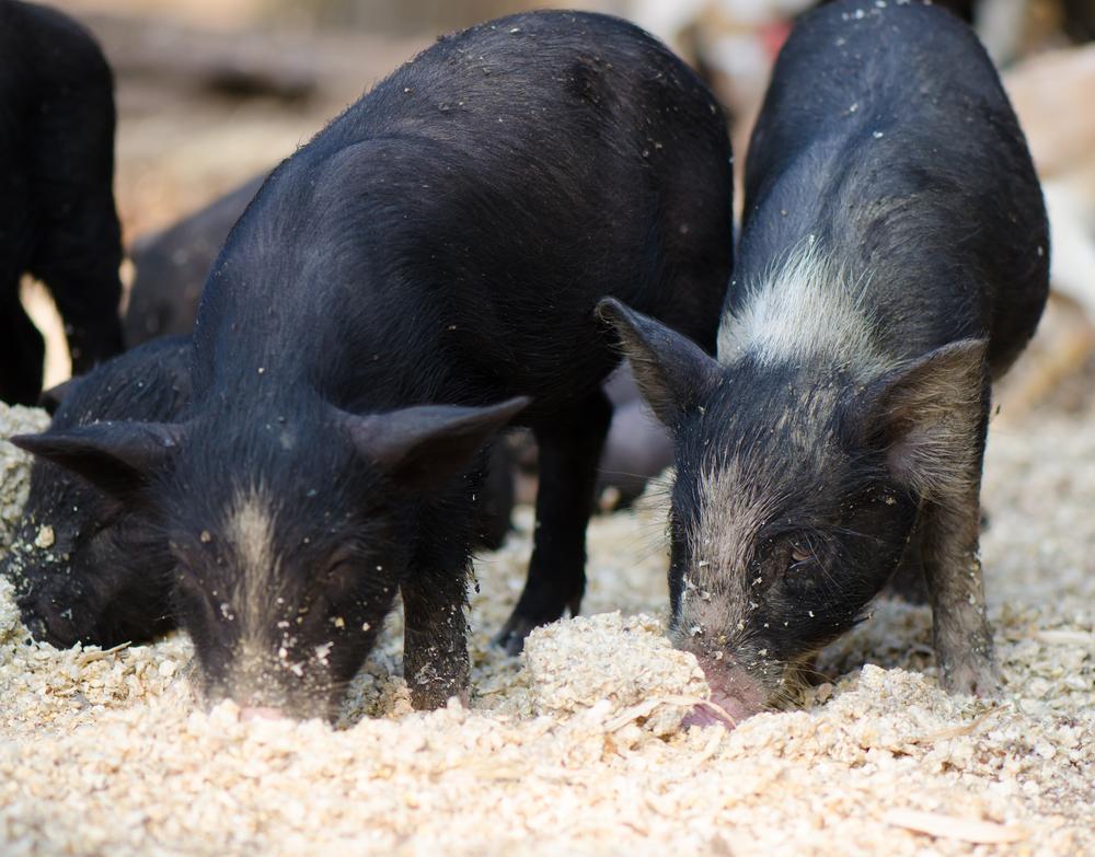 Alta do milho e da soja desafia suinocultores brasileiros. (Fonte: Shutterstock/TippaPatt/Reprodução)