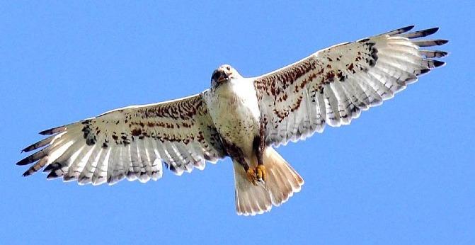 HawkSoaringCropped.jpg
