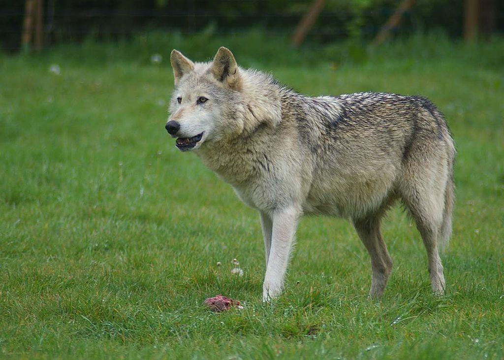 1024px-Wolf_at_Woburn_Safari_Park.jpg