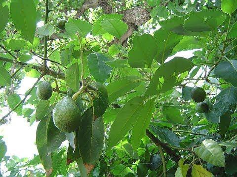 Các loại lá cây chữa bệnh tiểu đường hiệu quả  - Ảnh 4