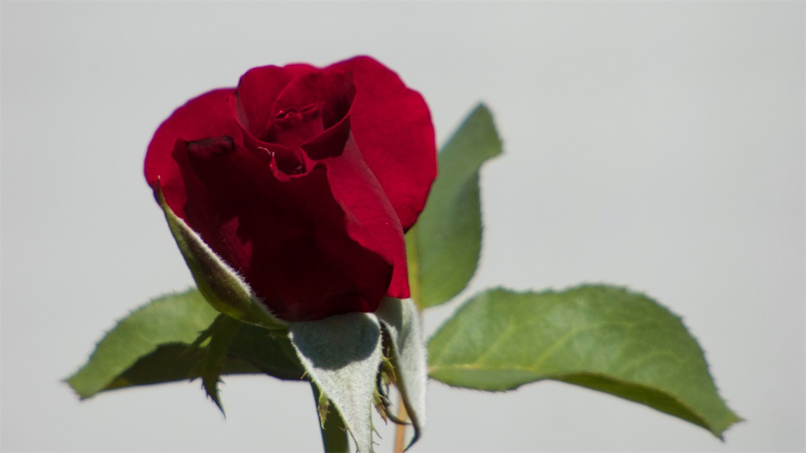 K's Rose 2.jpg