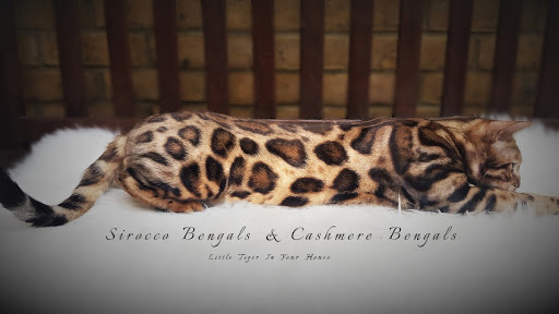 Sirocco Bengals And Cashmeres Hodowla Kotow Bengalskich Krotko I Dlugowlosych Bengal Cats And Cashmeres Cattery Bengal Cats And Cashmeres Cattery