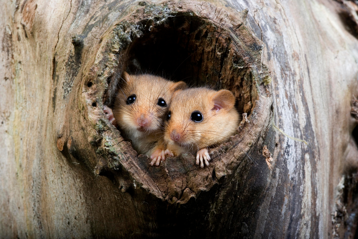 holes in mature trees are a favourite nesting place for the hazel dormouse