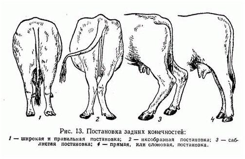 Постановка ног герефордских пород