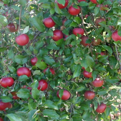 apples anyone