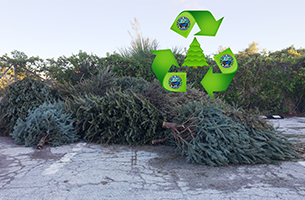Holiday Trees laying in lot to be recycled