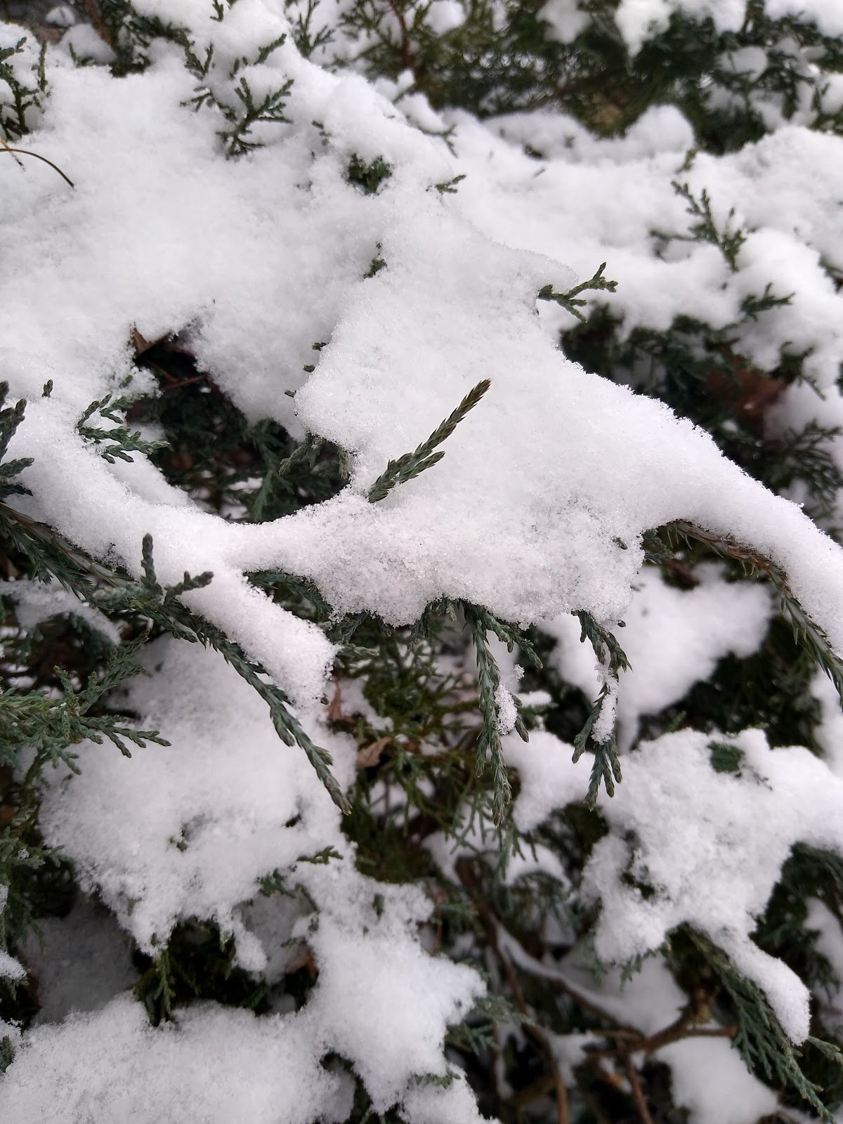 shrub covered in snow