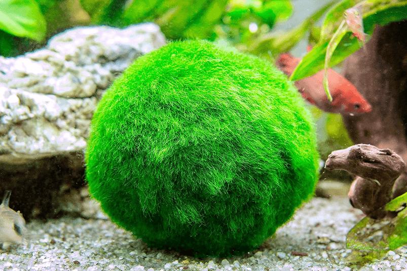 Moss ball in aquarium