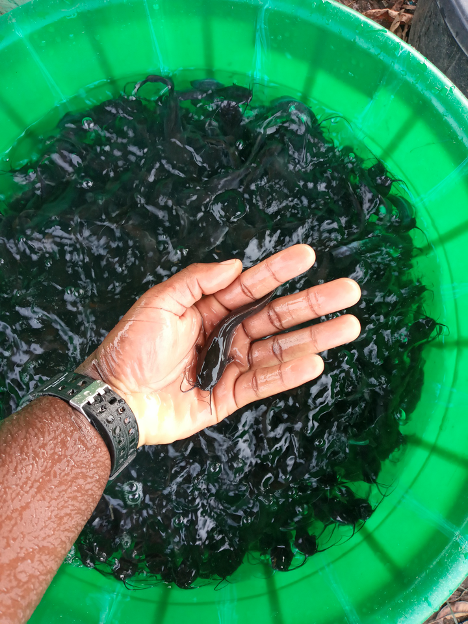 A hand holding a young catfish in front of a green bucket full of other young catfish