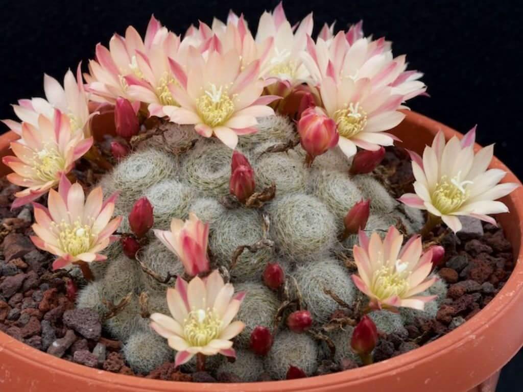 Cuidados del cactus Corona de fuego