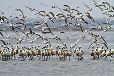 黑面琵鷺的第二個家跨國界保育典範- 新南向政策資訊平臺