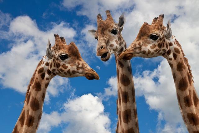 giraffes-627031_640.jpg
