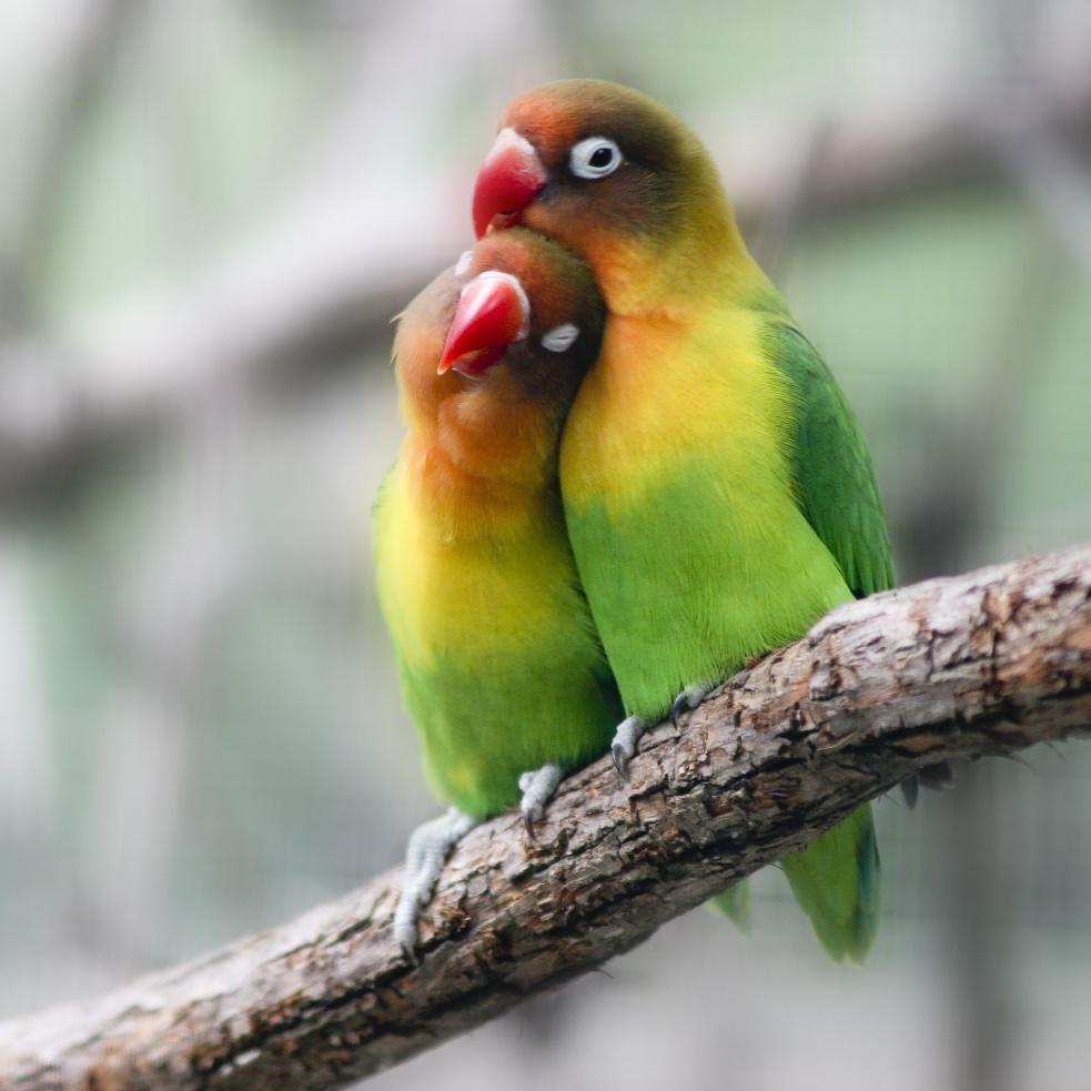Lovebird Breeding Basics Explained