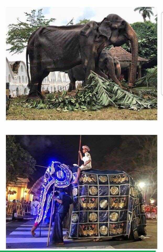 இலங்கையில் யானைக்கு நடக்கும் கொடூரம்! உலகளவில் சர்ச்சையை ஏற்படுத்திய புகைப்படம் #Save_elephant