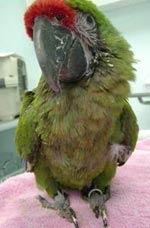 Avian Bornaviral Ganglioneuritis in a Macaw.