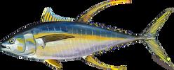 tuna_yellowfin.png