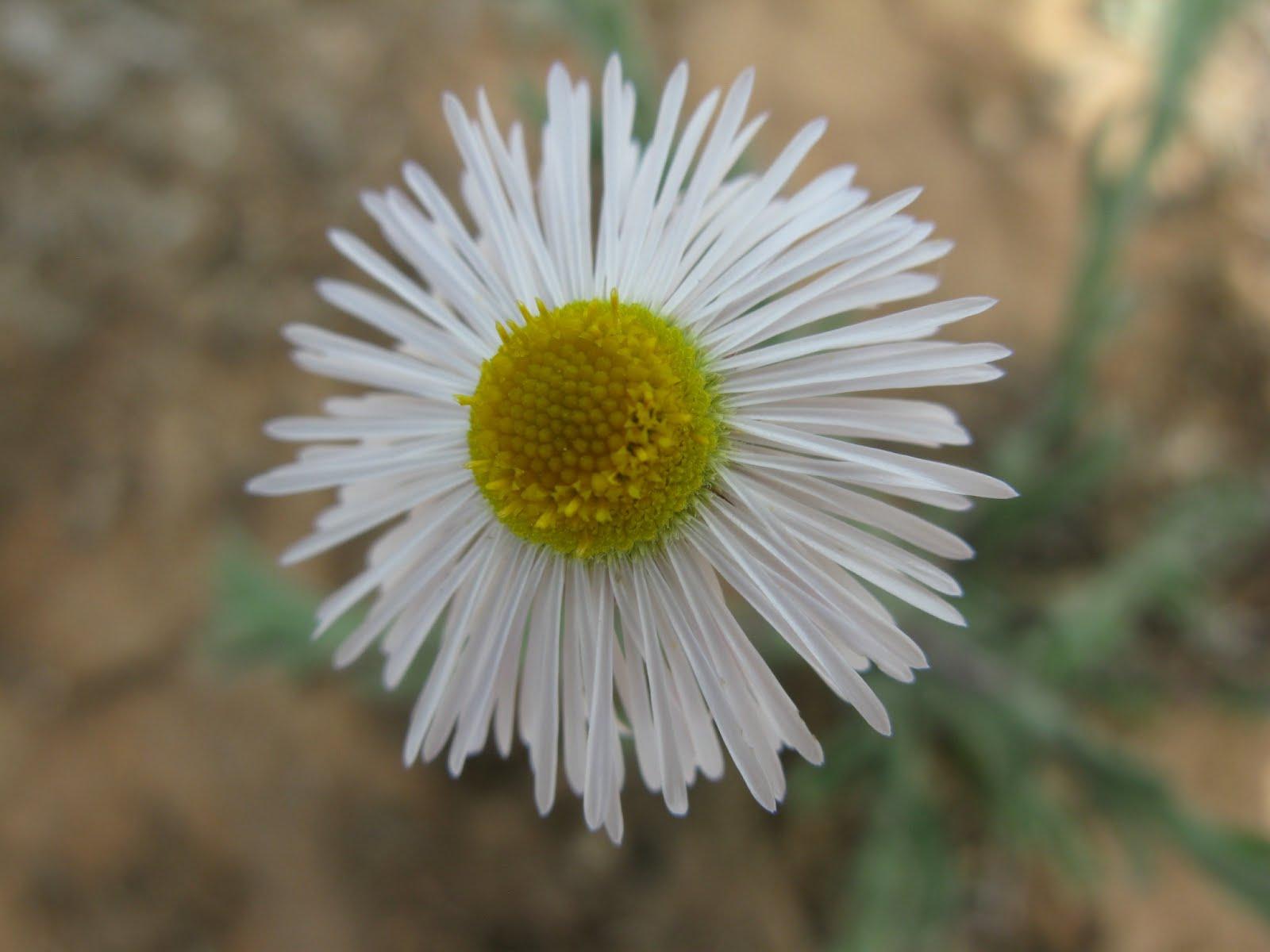 Daisy species (Erigeron tracyi)