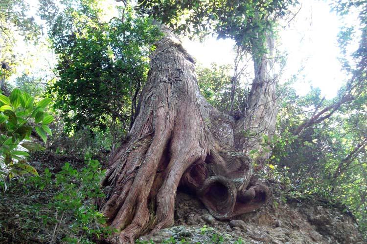 Thân cây gỗ Bách Xanh