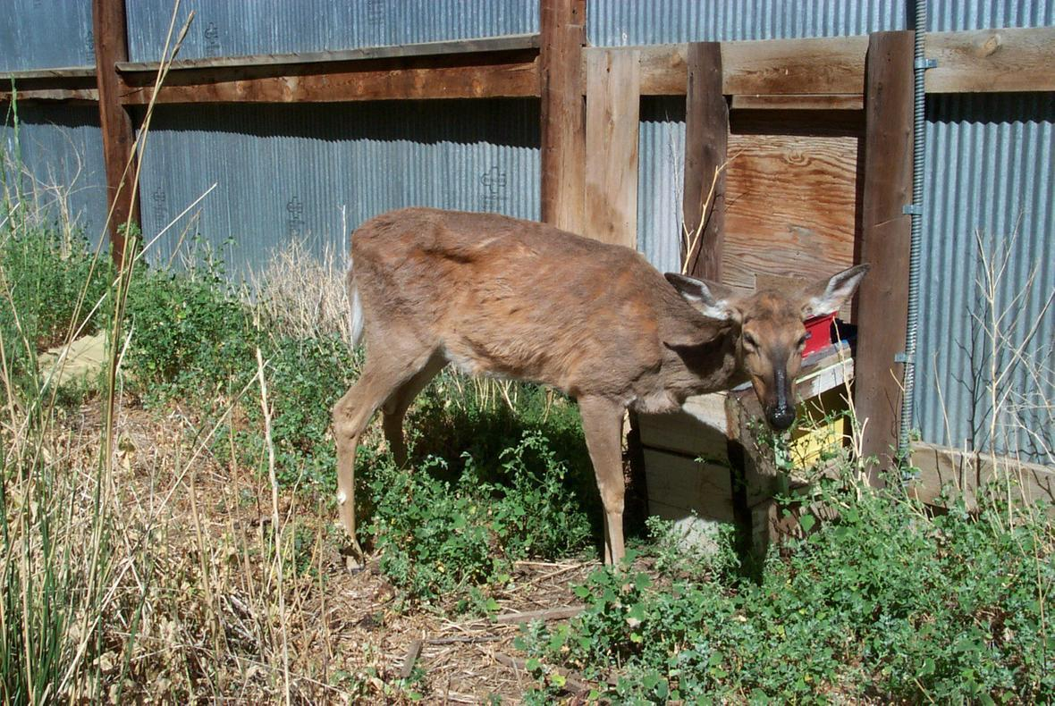 Image 2: A deer exhibiting symptoms of chronic wasting disease. (Credit: Terry Kreeger, Wyoming Game and Fish and Chronic Wasting Disease Alliance.)
