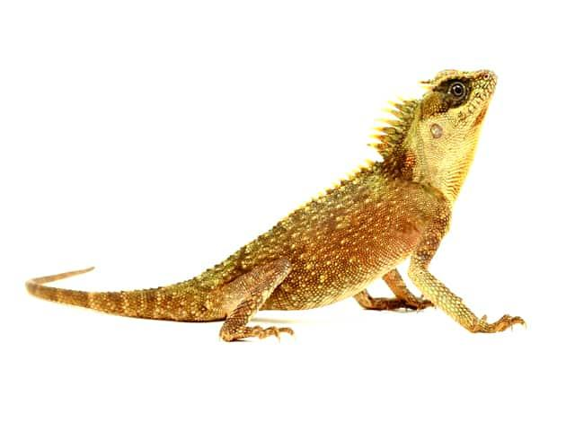 Image result for mountain horned dragon