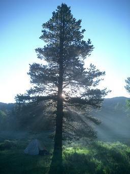 pine_tree_med