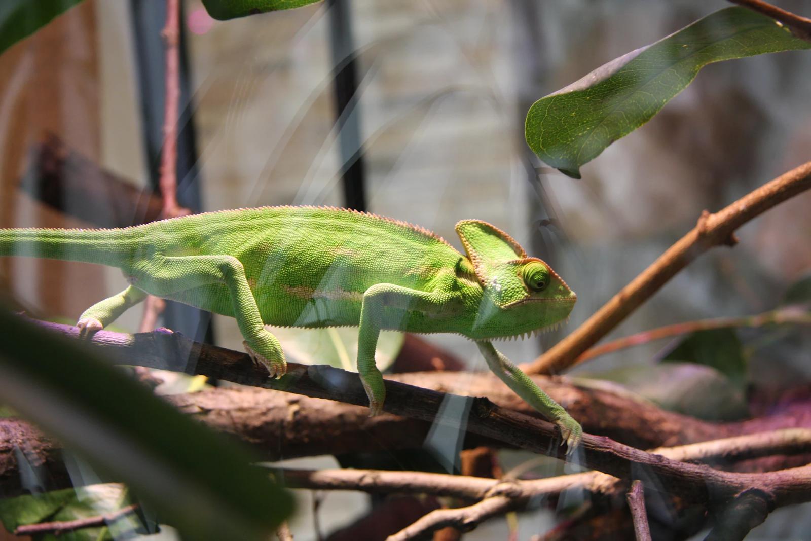 Chameleon on branch in terrarium
