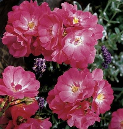 Розы посадка, розы уход, Сорта роз, сорта роз фото