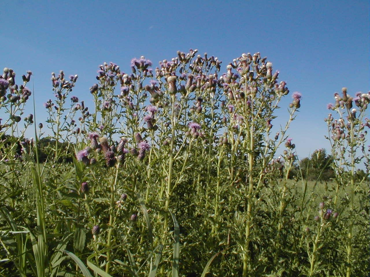 http://www.natronacountyweeds.com/wp-content/gallery/canada-thistle/ct1.jpg