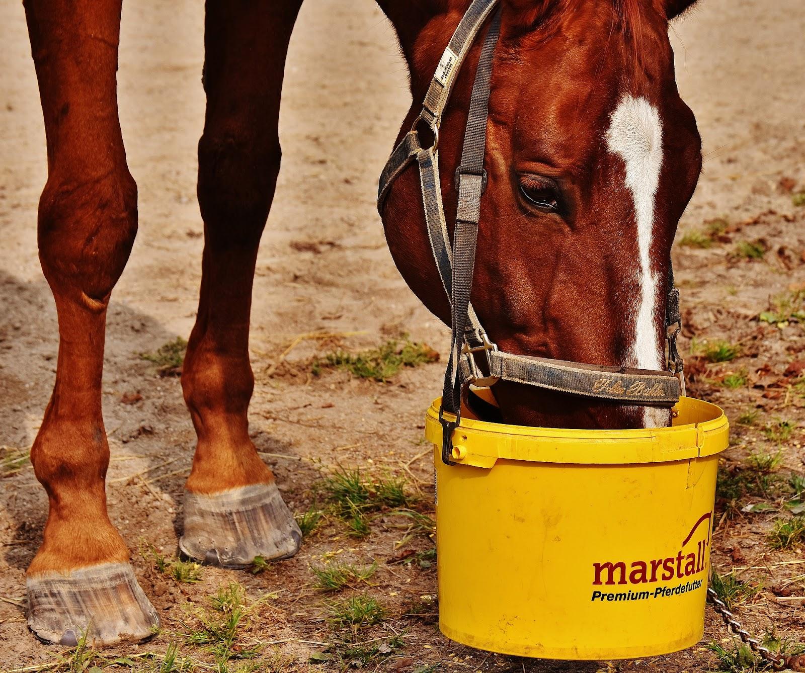 Chestnut show horse eats from a yellow grain bucket
