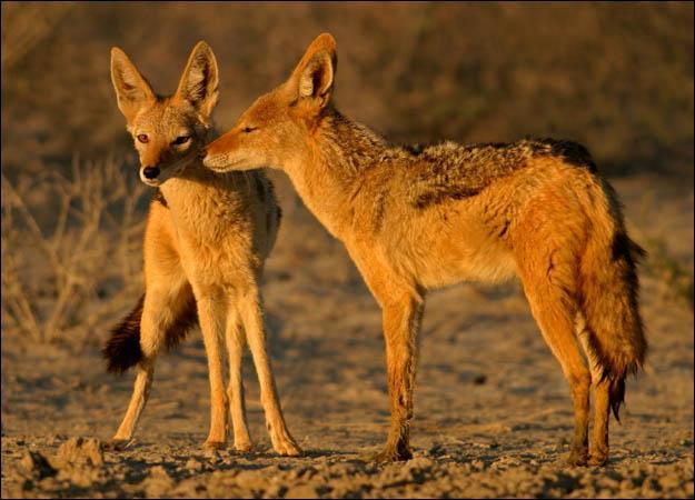 Image result for golden jackal faces threat in its habitat