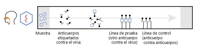 """Este diagrama muestra la función de un ensayo de flujo lateral: la muestra de la izquierda, el anticuerpo marcado contra un virus se mueve a lo largo de la prueba hasta una """"línea de prueba"""" (otro anticuerpo contra el virus) y una línea de control (anticuerpo contra los anticuerpos)."""