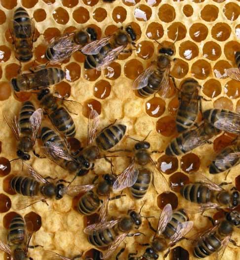 Восковые свечи делаются из пчелиного воска