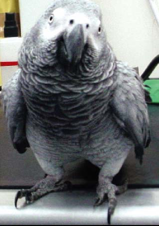 An adult African grey with osteodystrophy