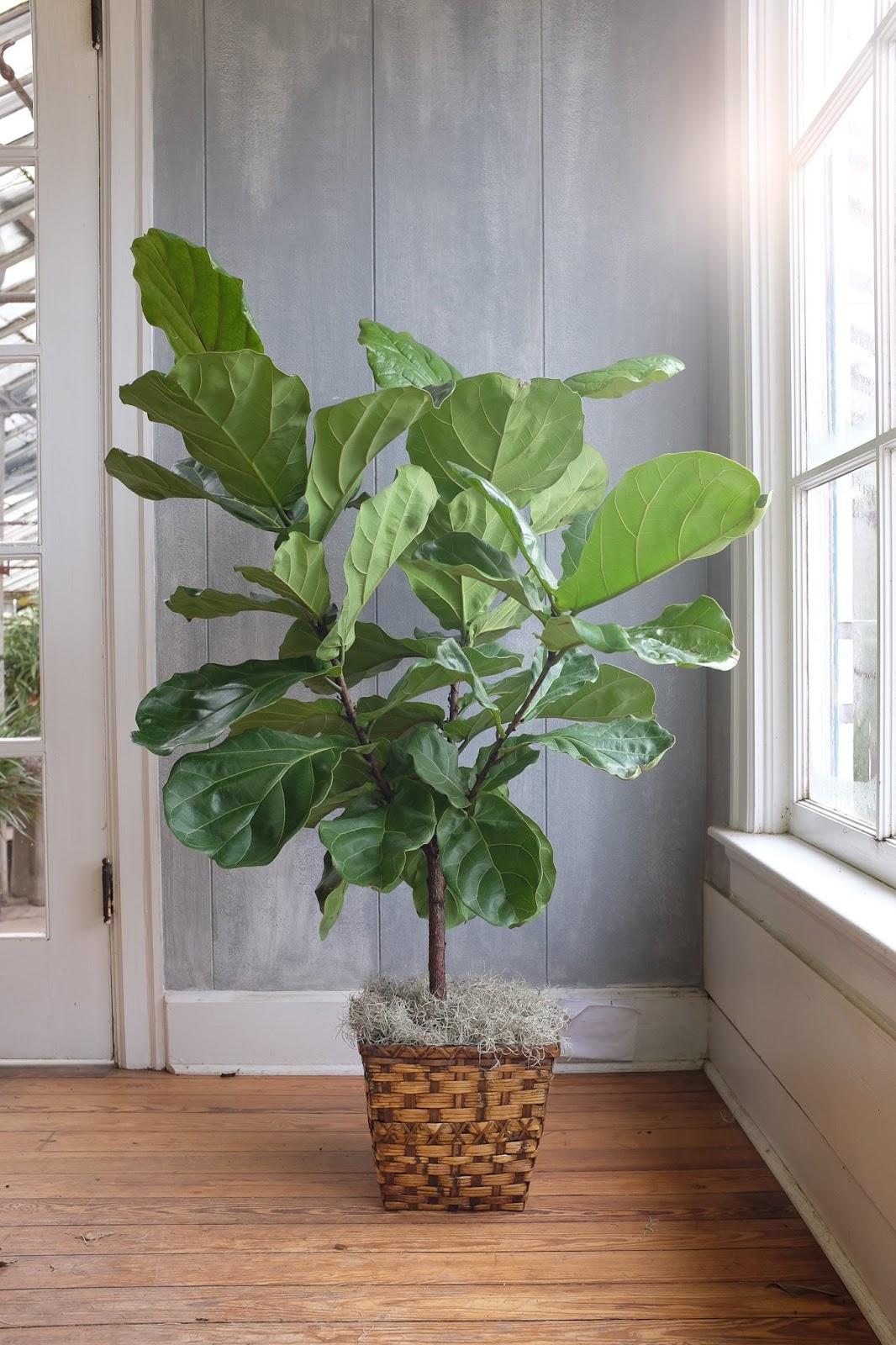 Tanaman hias fiddle leaf fig (ara biola/kimunding) - source: michlers.com