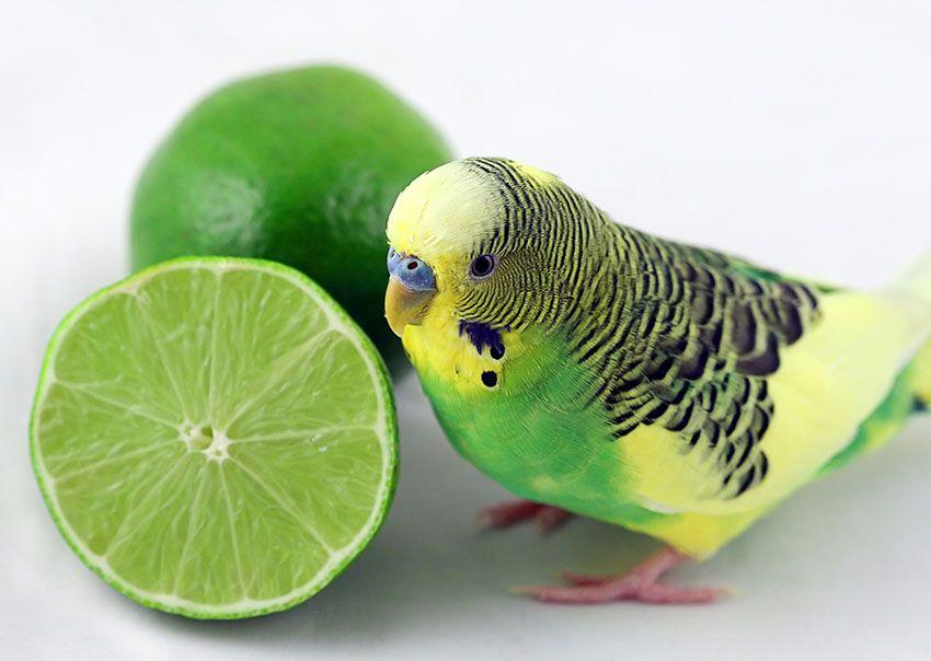 Green budgie with lime | Budgies, Green budgie, Pet birds