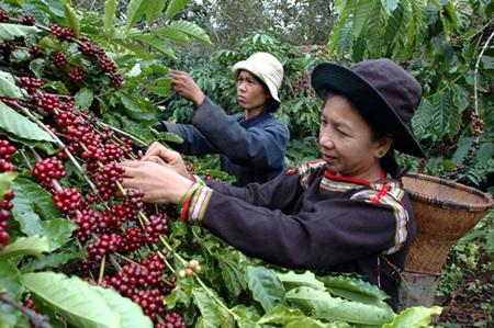 Vietnam's output to near 2016 yield says Coffee and Cocoa Association