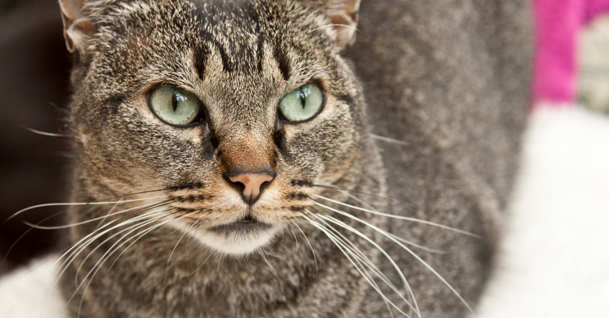 A ticked tabby.  Notice the coat which has little detectable pattern.