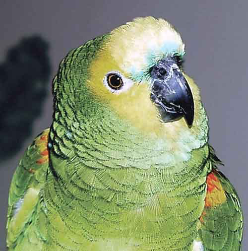 The blue-fronted Amazon is probably the most popular Amazon parrot because of its gregarious nature and ability to mimic, but like the larger Amazons, is frequently abandoned to a rescue facility