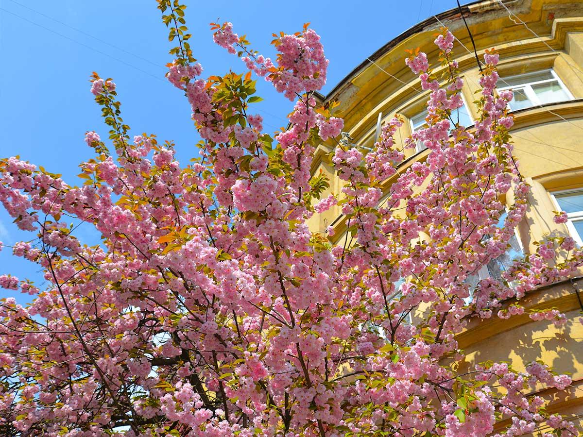 де цвіте сакура в україні