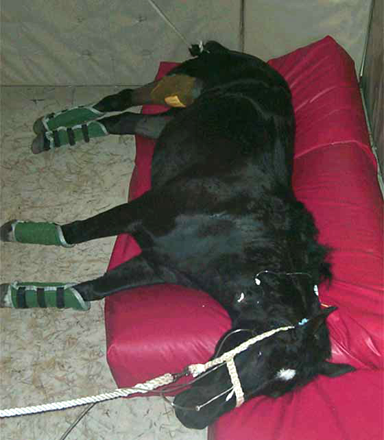 Use of a foam rubber mattress and head and tail ropes to assist a horse during recovery from anesthesia. The bottom front leg is pulled forward to lessen pressure on the dependent limb and all lower limbs are protected with gaiters against injury. Tubing entering one nostril provides oxygen supplementation. The horse is positioned so that it will roll off the mattress as it moves into sternal recumbency.