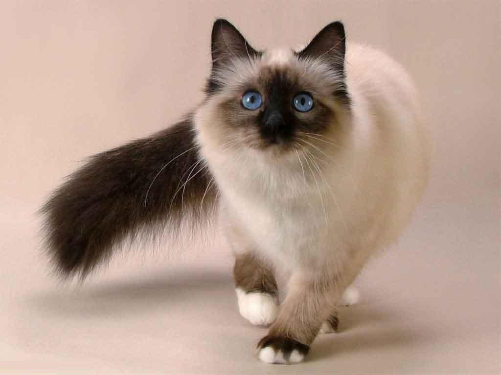 Đặc điểm của mèo Bali thuần chủng