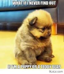 Puppy who looks like a teddy bear