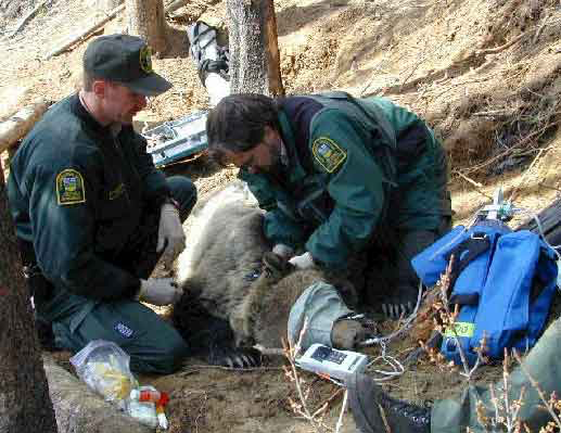 Administration of supplemental oxygen to a grizzly bear.
