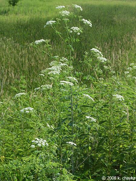 http://www.minnesotawildflowers.info/udata/r9ndp23q/white/poison-hemlock_0701_085352.jpg