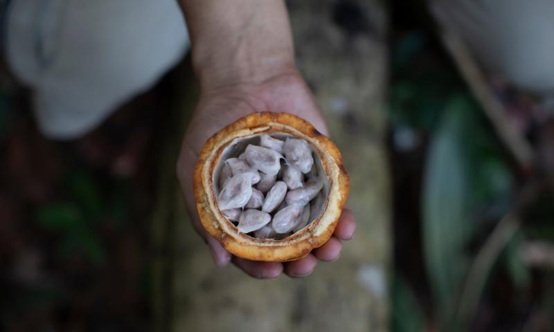 Какао-бобы.После просушки и обжарки из них можно будет делать шоколад.
